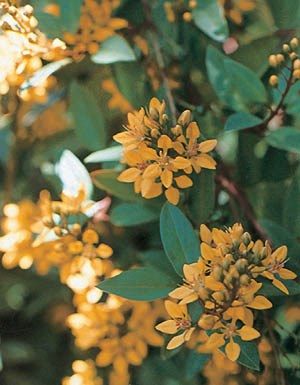 Golden Thryallis