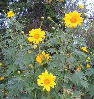 Japanese Sunflower