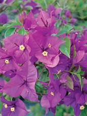 Bougainvillea paper flower grow me instead bougainvillea paper flower mightylinksfo