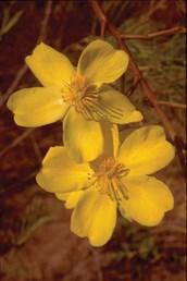 Yellow Kapok, Kapok Bush | Grow Me Instead