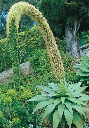American Agave, American Aloe, Century Plant