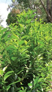 how to grow cherry laurel from seed