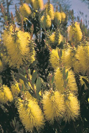 Lemon Bottlebrush
