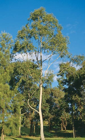 Lemon Scented Gum, Spotted Gum