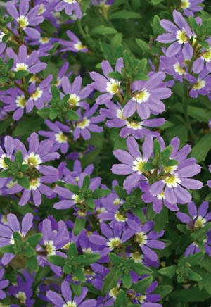 Scaevola, Fan Flower