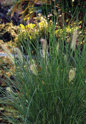 Swamp Foxtail or Fountain Grass