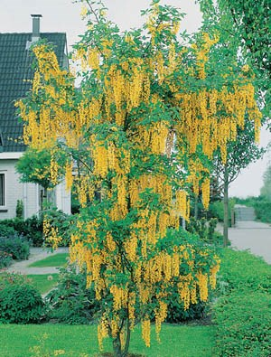Golden Chain Tree Weeping Golden Chain Tree